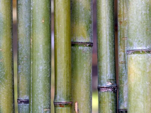 Brookhaven Considers Restrictions, Ban On Planting Bamboo