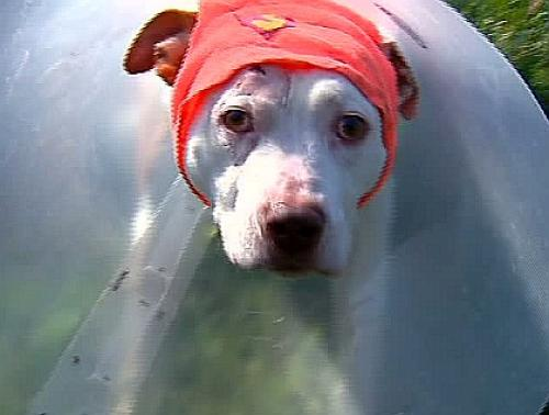 Pit Bull Shot In The Head Trying To Protect Owner, But Miraculously Survives